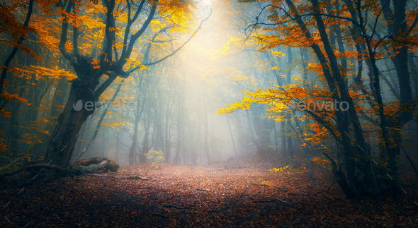 Enchanted autumn forest in fog in the morning. Old Tree - Stock Photo - Images