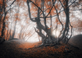 Mystical autumn forest in fog. Magical old trees at sunrise