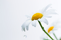 Petals of a camomile with drops of water - PhotoDune Item for Sale