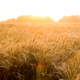 Spikes of ripe rye on a summer evening - PhotoDune Item for Sale