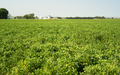 Field of Beans Farm Agriculture Farmer Field Growth - PhotoDune Item for Sale