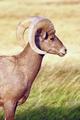 Wild Animal High Desert Bighorn Sheep Male Ram