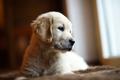 Cute little golden retriever puppy thinking