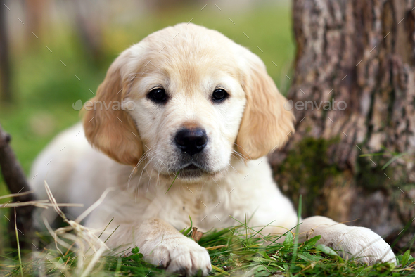 Young golden retriever puppy lying on grass