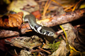 Grass snake or Natrix natrix on forest floor closeup