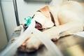 Old dog in animal hospital