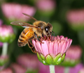Bee in pink flower bud - PhotoDune Item for Sale