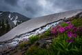 Parrys Primrose Primula parryi flowers Melting Glacier Snow near