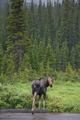 Moose by the road