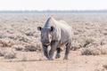 Black rhinoceros, Diceros bicornis, walking towards the camera