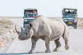 Black rhinoceros with safari vehicles with tourists in the back