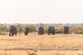Elephants walking through a grass and mopani shrub landscape