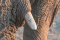 Close-up of tusk of African elephant in Northern Namibia