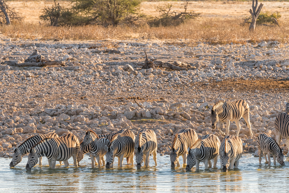 Burchells Zebras drinking water in Northern Namibia at sunset - Stock Photo - Images