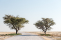 Gravel road passing between two acacia trees in northern Namibia