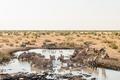 Herd of Burchells zebras drinking water
