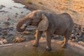 African elephant drinking water at sunset
