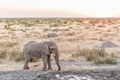 African Elephant, black rhinoceros, Burchells zebra at sunset