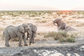 Muddy African Elephant scratching its buttock at sunset