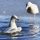 Gull In Icy Water - VideoHive Item for Sale