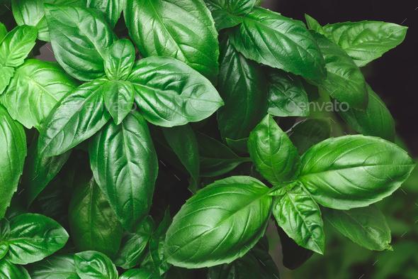 Growing Genovese basil background - Stock Photo - Images
