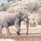 African elephant walking - PhotoDune Item for Sale