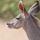 Close-up of a greater kudu cow, North-Western Namibia - PhotoDune Item for Sale