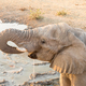 Close-up African elephant drinking water at sunset - PhotoDune Item for Sale