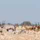 Oryx with visible wounds and red hartebeest a waterhole - PhotoDune Item for Sale