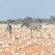 Two Burchells zebra foals - PhotoDune Item for Sale