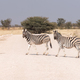 Two Burchells zebras crossing a road. One zebra is pregnant - PhotoDune Item for Sale