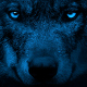 Wolf Looking Around With Bright Eyes In The Dark - VideoHive Item for Sale