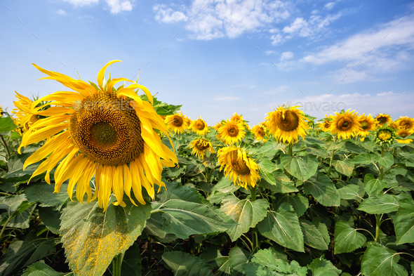 Yellow sunflower against a blue cloudy sky - Stock Photo - Images