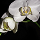 Orchid Blooms - VideoHive Item for Sale