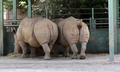 Two Rhinoceroses