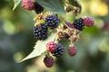 Blackberry Fuits on Branch - PhotoDune Item for Sale