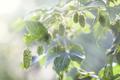 Fresh Hops In the Sun - PhotoDune Item for Sale