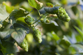 Green Hop Cones - PhotoDune Item for Sale