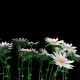 White Asters - VideoHive Item for Sale