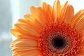 closeup of gerber daisy flower - PhotoDune Item for Sale