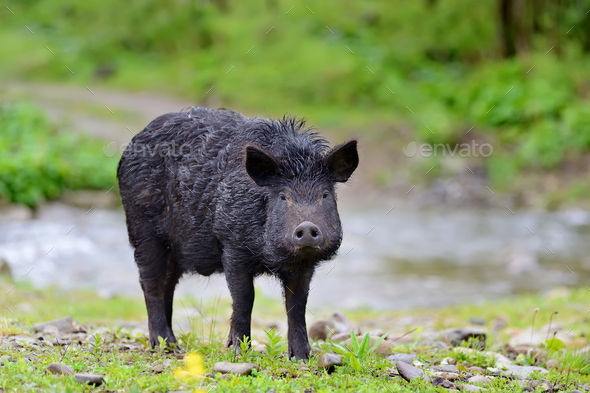 Wild boar on the forest - Stock Photo - Images