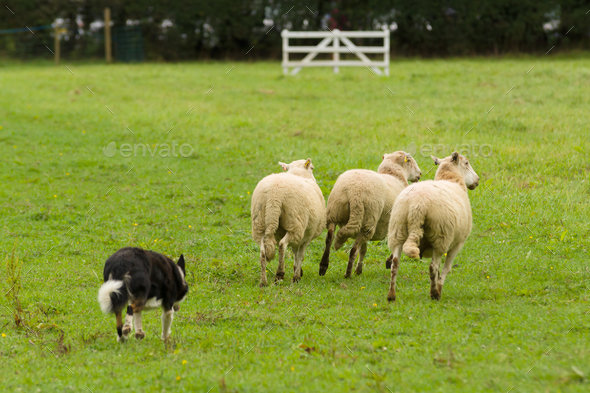 Welsh Border Collie Rounding up Sheep - Stock Photo - Images