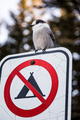 Loggerhead Shrike on a Interdiction to do Camping Sign during Wi