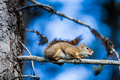 Close-up of a Red Squirrel in a tree.