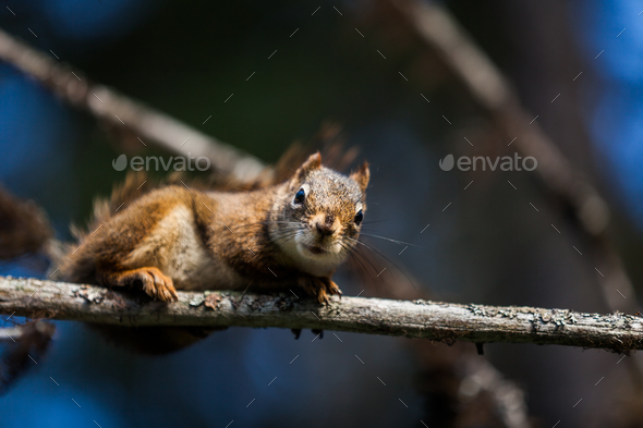 Close-up of a Red Squirrel in a tree. - Stock Photo - Images