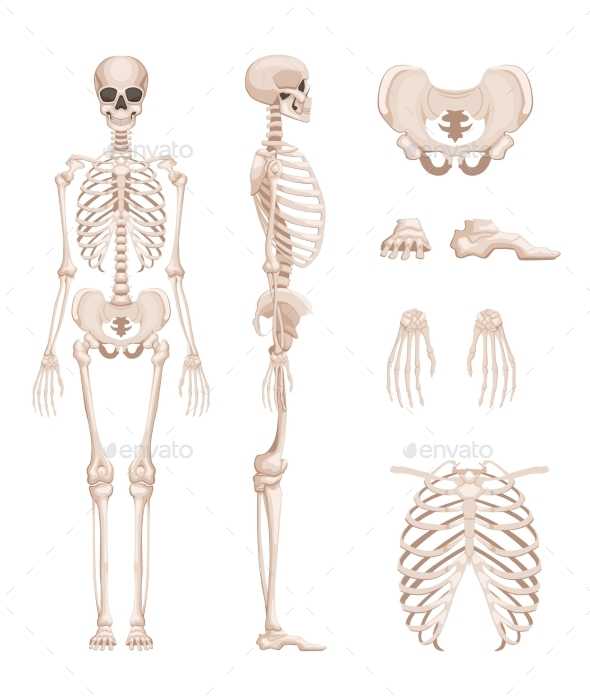 Vector Illustration of Human Skeleton in Different - Objects Vectors