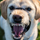 Dog Growling 2 - AudioJungle Item for Sale