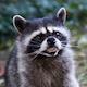Raccoon_Nasty