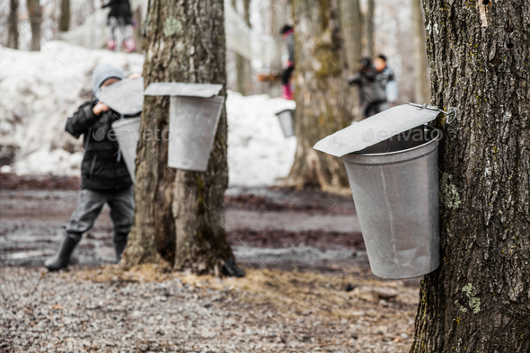 Kids lookin into the Maple Sap buckets - Stock Photo - Images