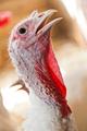 Close-up of a turkey